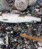 HAVØRREDFISKERI – Sådan kommer du godt fra start med lystfiskeriet